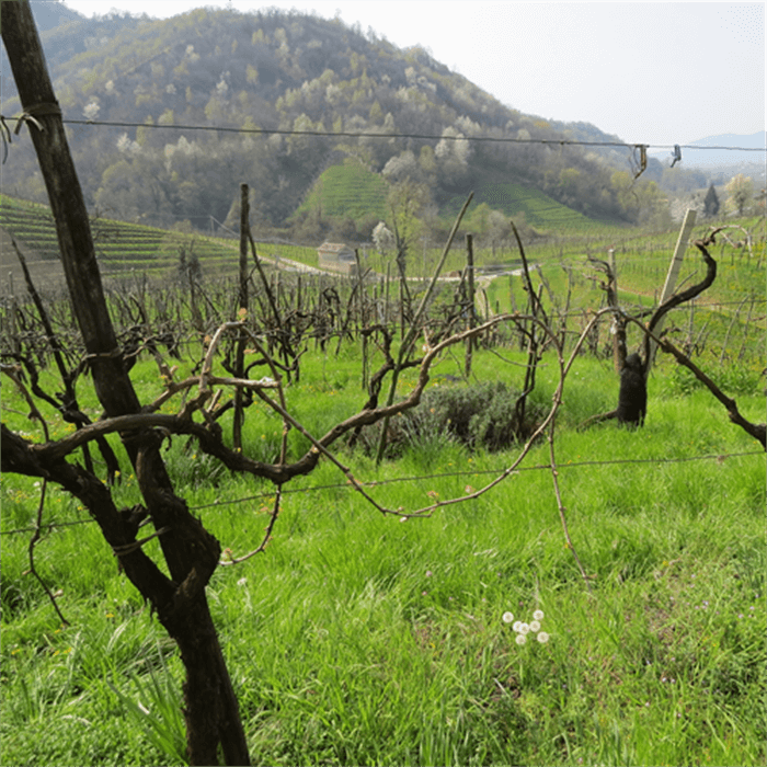 Old vineyard at Santo Stefano