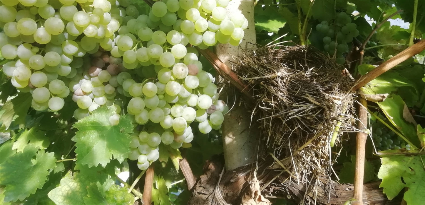 Blackbird's nest in the vineyard