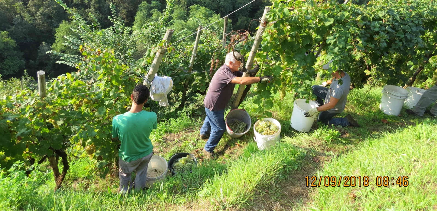 Grapes harvest in Guia