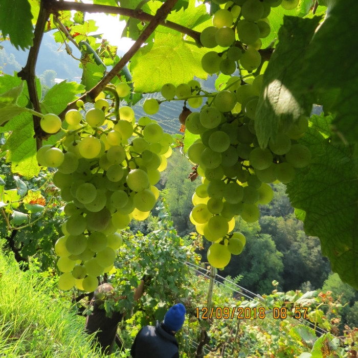 Grapes at Guia