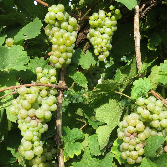vendemmia Riesling 2019